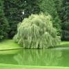 İlginç Süs Havuzu Söğüt Bitkisi